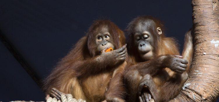 orangoutan-indonesie-unmondeapart