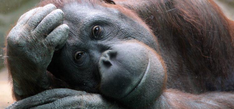 orangoutan-indonesie-unmondeapart2